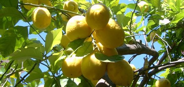 limone igp di sorrento